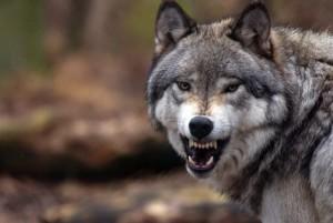 Амулет клык волка: кому носить, как сделать, свойства