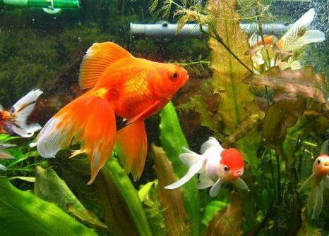 Аквариум золотые рыбки